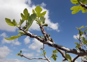 first leaves on a fig tree